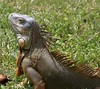 March 5th, 2008 - Oscar our favorite Iguana who comes to have lunch, with us, quite often. :