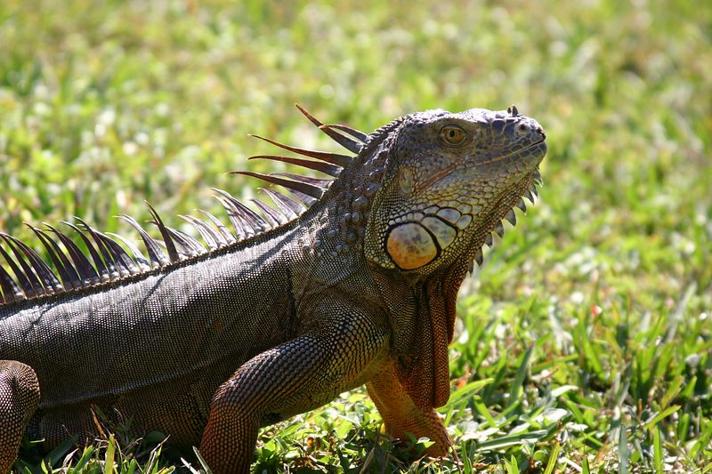 Iguanas on the Hillsboro Canal